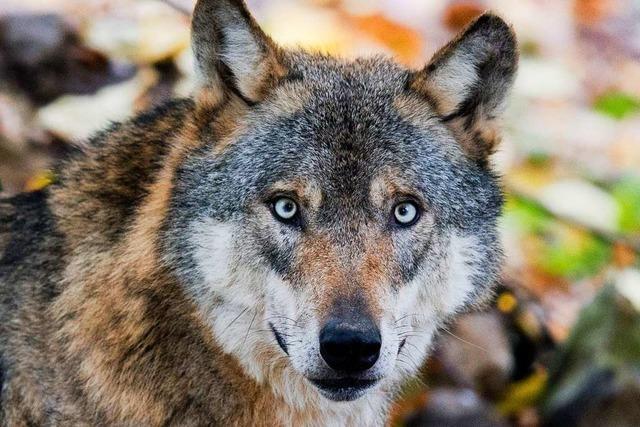 Ist auch ein Schaf Opfer des Wolfs in Münstertal geworden?