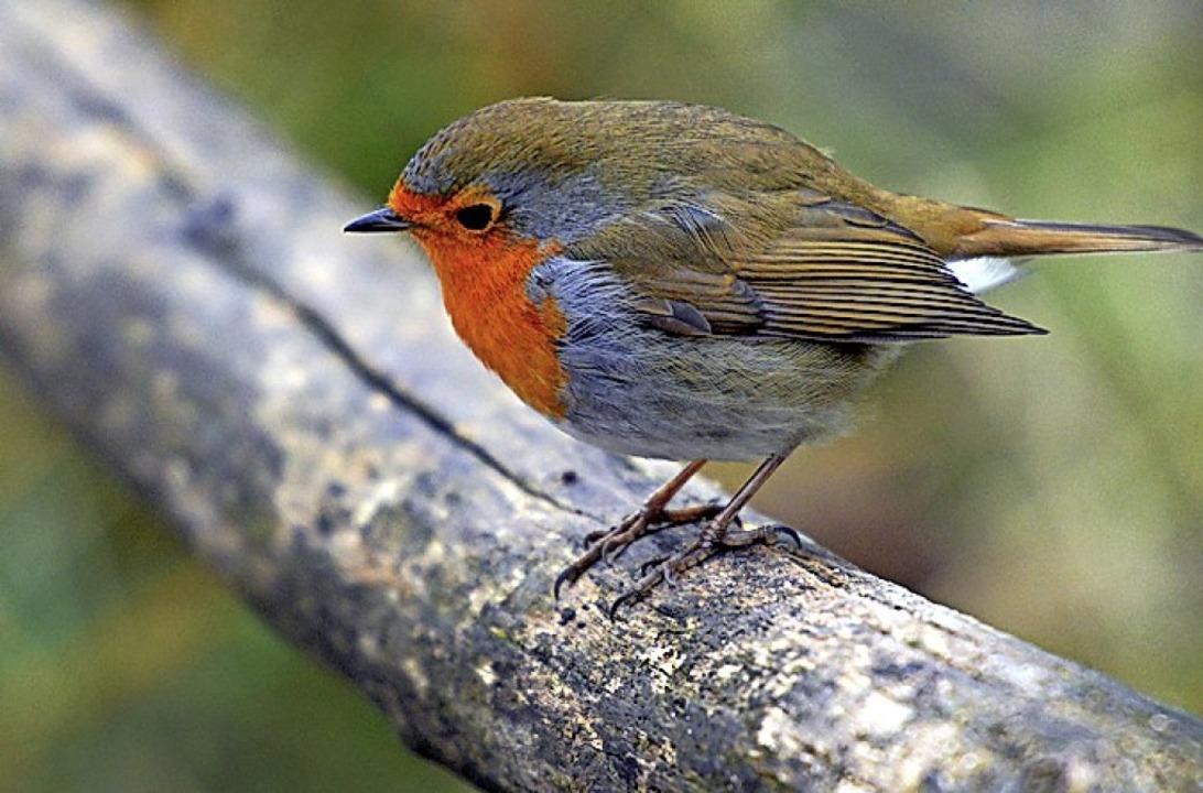 Charakteristisch ist der trillernde Ruf des Rotkehlchens.  | Foto: Caroline Seidel