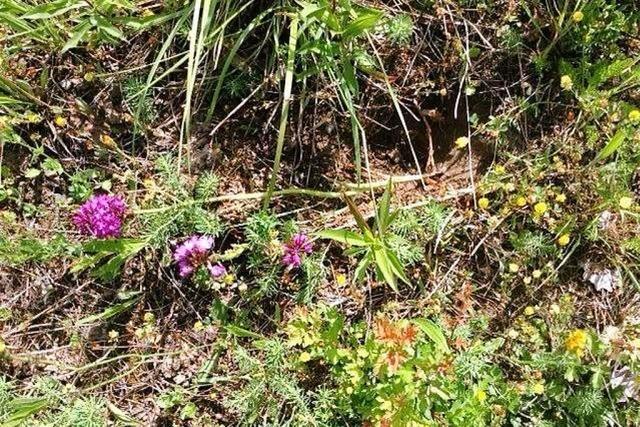 Erneut verschwinden Orchideen im Taubergießen