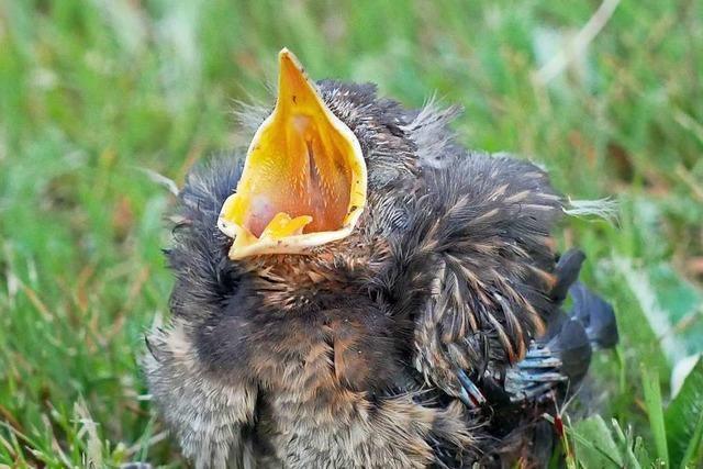 Warum man scheinbar hilflose Vogelkinder in Ruhe lassen sollte