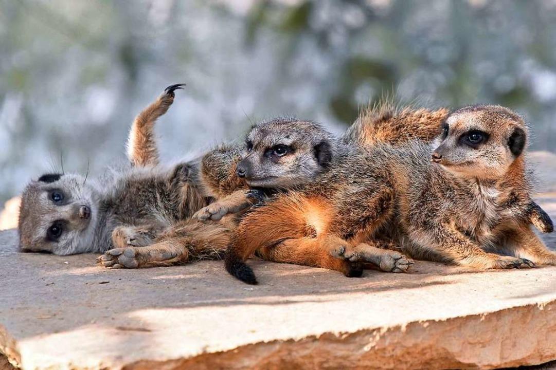 Die Erdmännchen sollen durch den plötz... wacher wirken als sonst (Archivbild).  | Foto: Michael Bamberger