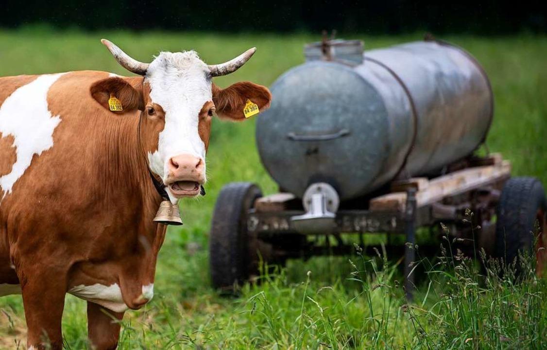 Eine der Kühe, um deren Lärm es in dem Verfahren ging.    Foto: Sven Hoppe (dpa)