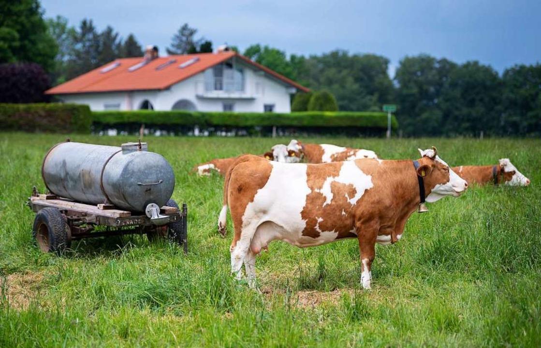 Die Kühe von Bäuerin Regina Killer auf der Weide.    Foto: Sven Hoppe (dpa)