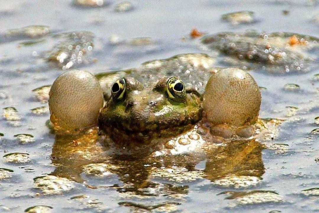 So sieht ein quakender Frosch aus.  | Foto: Frank Leonhardt