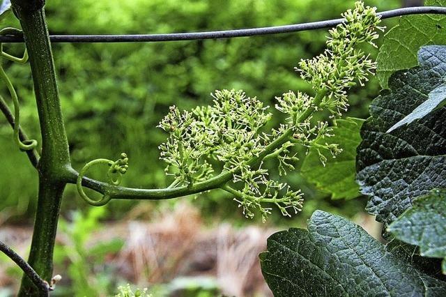 Feiner Duft strömt durch die Weinberge