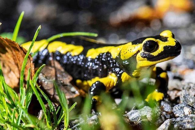 Wie der Chytrid-Pilz die Salamander in Deutschland bedroht