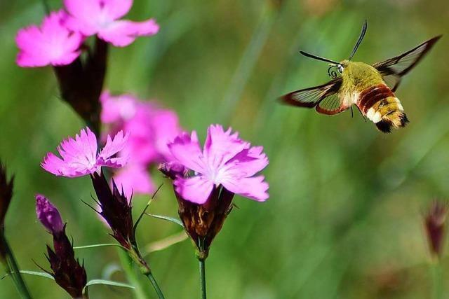 Die Farbenpracht der Natur im Breisgau lockt Insekten an