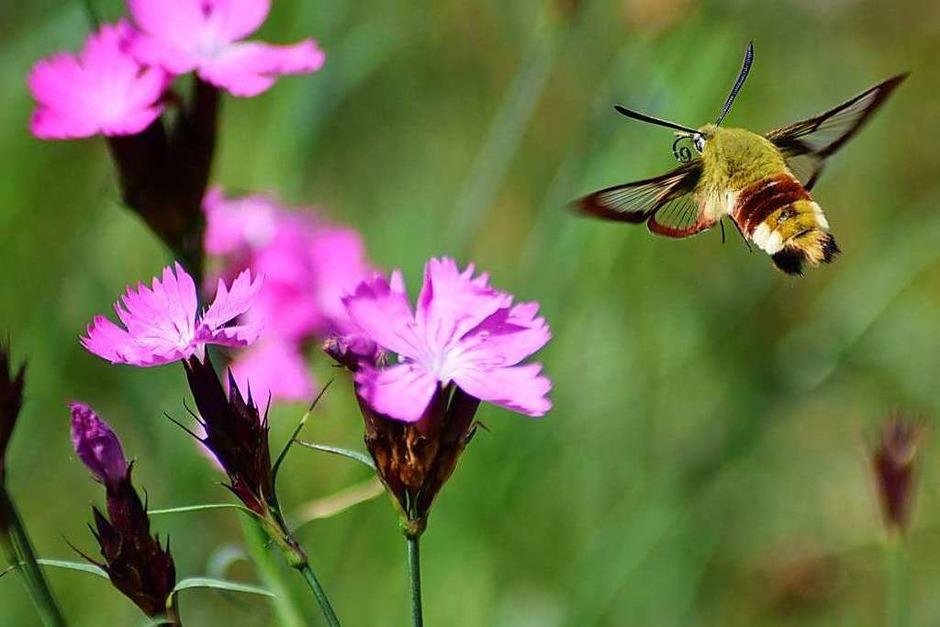 Ein Insekt im Landeanflug auf die lilafarbene  Blütenpracht in Denzlingen. (Foto: Michael Vögele)