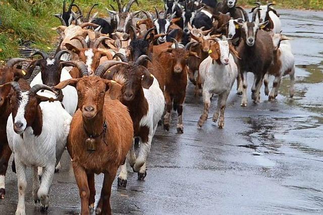 St. Blasien hat kein Geld für zusätzliche Ziegen im städtischen Stall