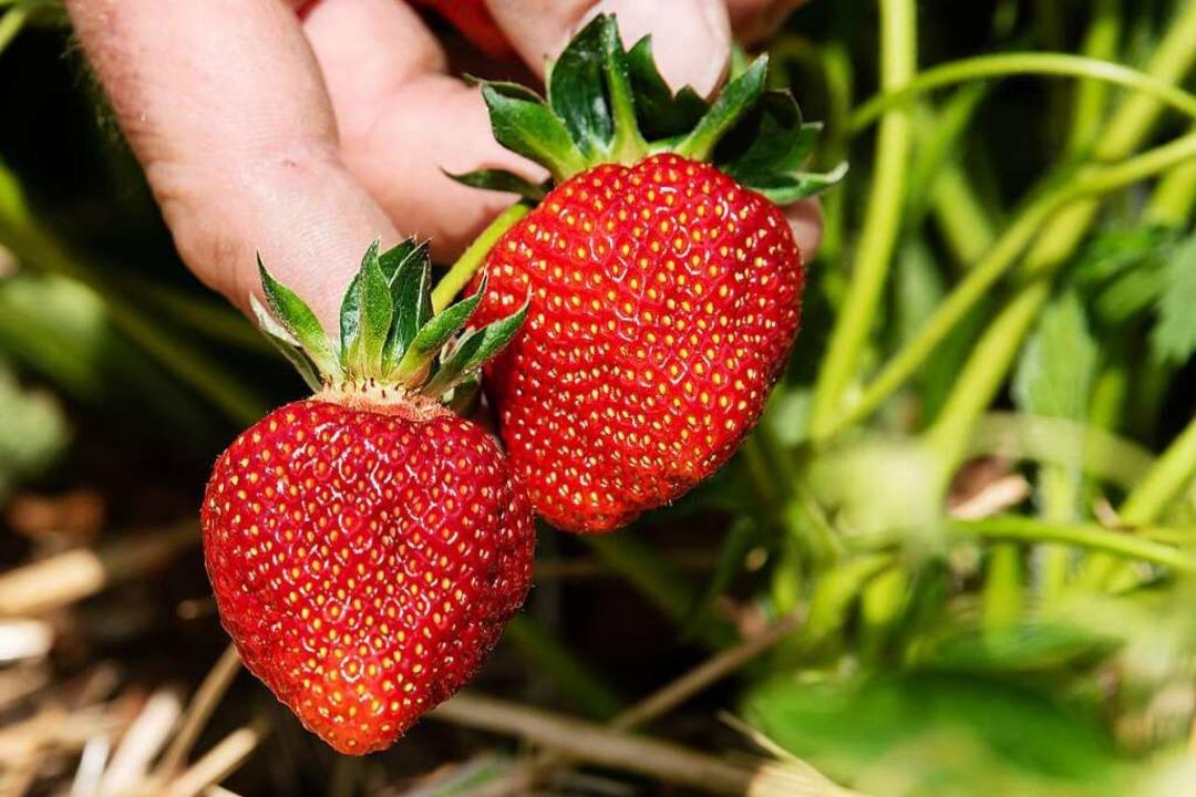 Sommerzeit ist Erdbeerzeit. Doch für v... man die Erdbeeren selbst ernten kann.  | Foto: Swen Pförtner (dpa)