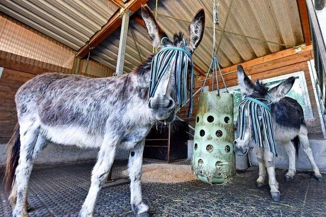 Weil Besucher fütterten, wurde ein Mundenhof-Esel sterbenskrank