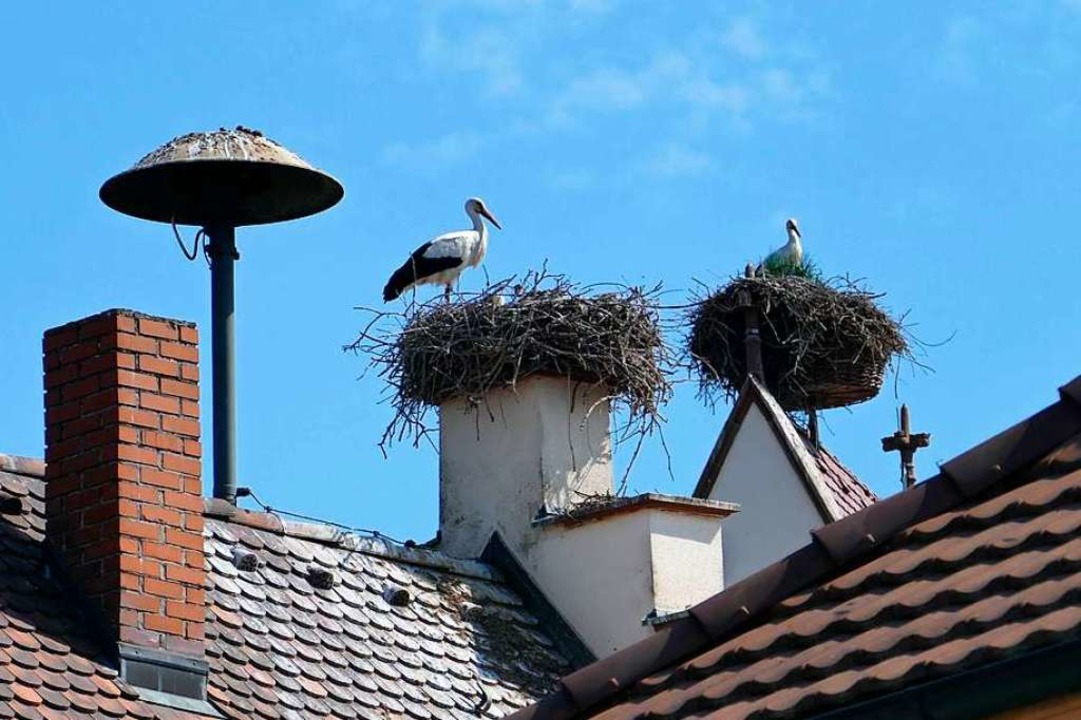 Stolz sind die Storcheneltern auf den ...s beringt werden, bevor er flügge ist.    Foto: Ulrich Senf
