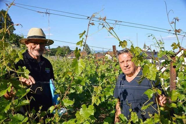 Rheinfelder Wein blühte schon im Mai
