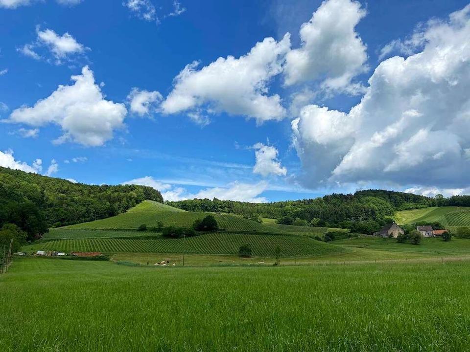 Im Glottertal gehen Kuhweiden in Weinberge über.  | Foto: Klaus Riexinger