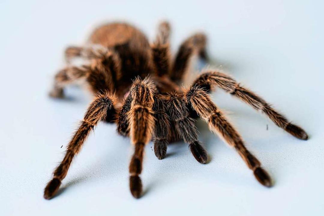 Viele Menschen ekeln sich vor Spinnen (Symbolfoto)    Foto: Uwe Anspach (dpa)