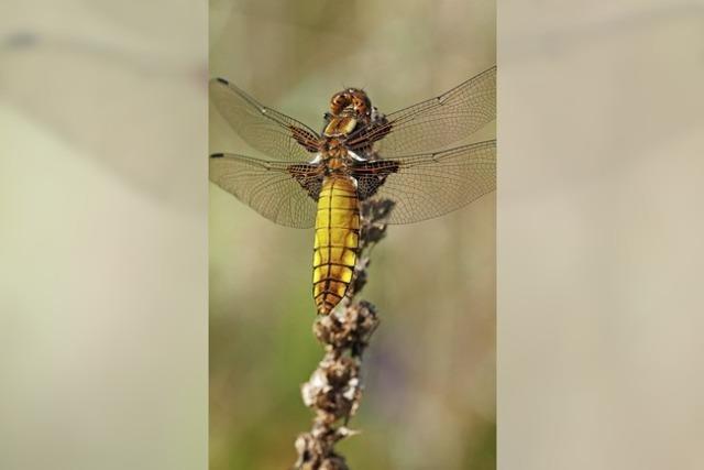 Lahrer Libelle