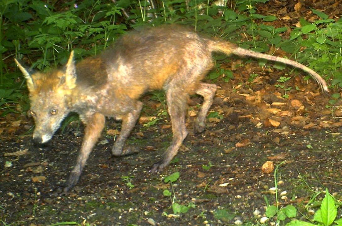 Ein von der Räude befallener Fuchs  | Foto: Christof Janko