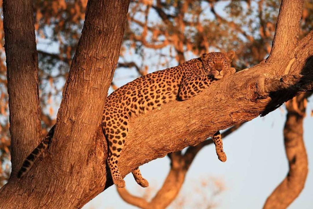 Leoparden werden wegen ihres Fells illegal gejagt.  | Foto: Winfried Schumacher