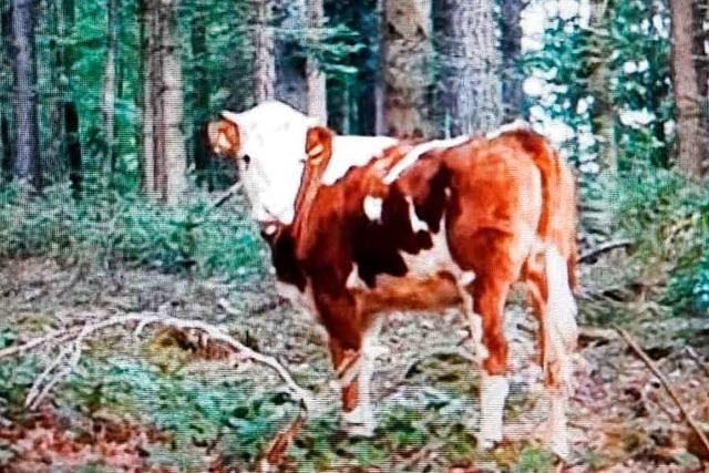 Ein entlaufenes Rind streift seit Wochen durch Emmendingens Wälder