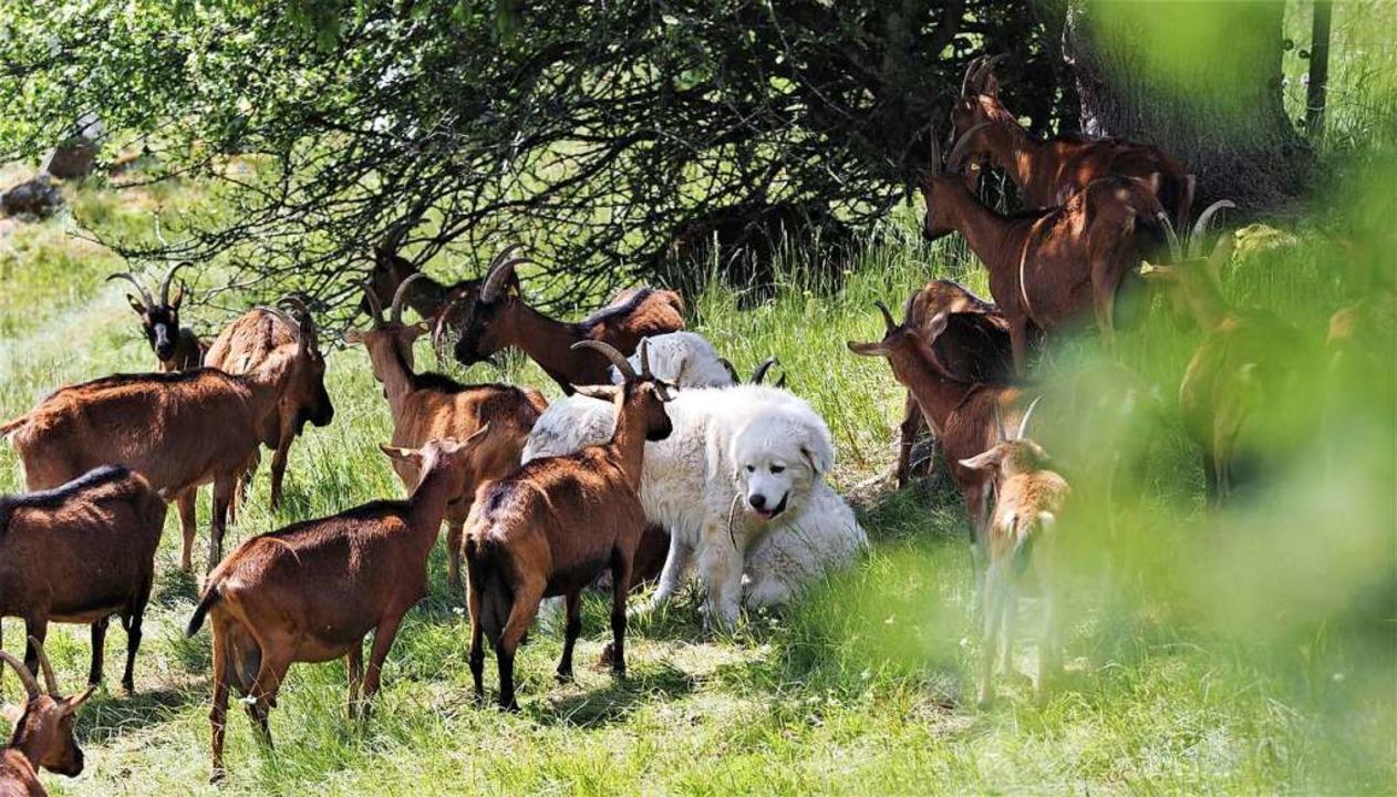 Die beiden Herdenschutzhunde Lori und ...in der Ziegenherde und beschützen sie.  | Foto: Susanne Gilg