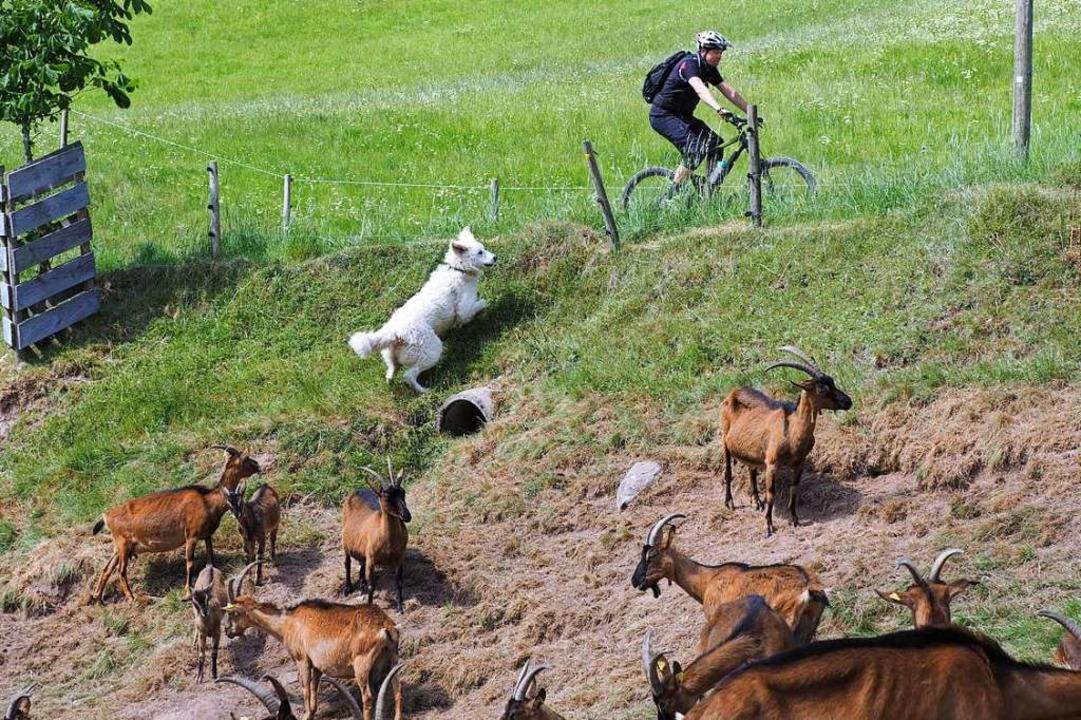 Buffo waltet seines Amts und verbellt den Radler, der an der Weide vorbeifährt.  | Foto: Susanne Gilg