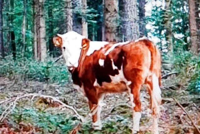 Das seit Wochen entlaufene Rind aus Emmendingen steht wieder im Stall