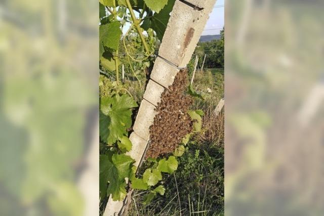 Bienenschwarm in den Reben