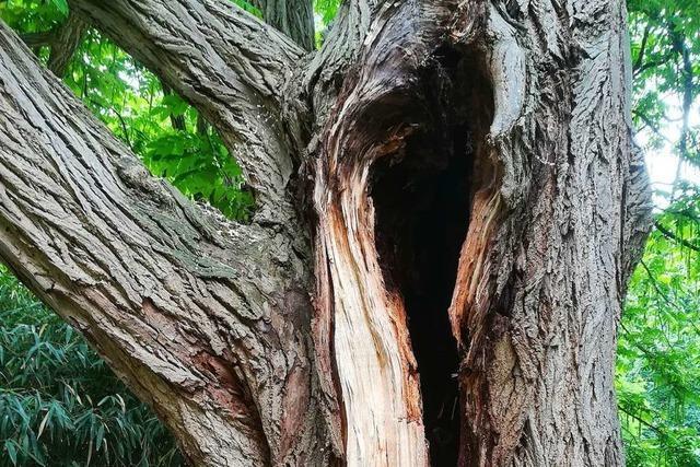 Stadt Freiburg lässt kranken Baum im Stadtgarten fällen