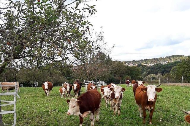 Tierschützer finden Herde für entlaufenes Malecker Rind