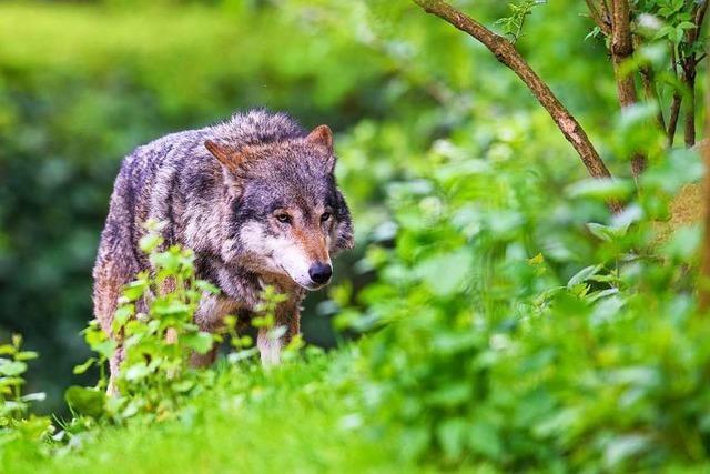 Möglicher Wolfsriss im Münstertal kann nicht aufgeklärt werden