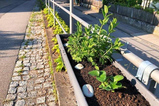 Bugginger Bürger pflanzen Beeren und Kräuter für alle im Dorf
