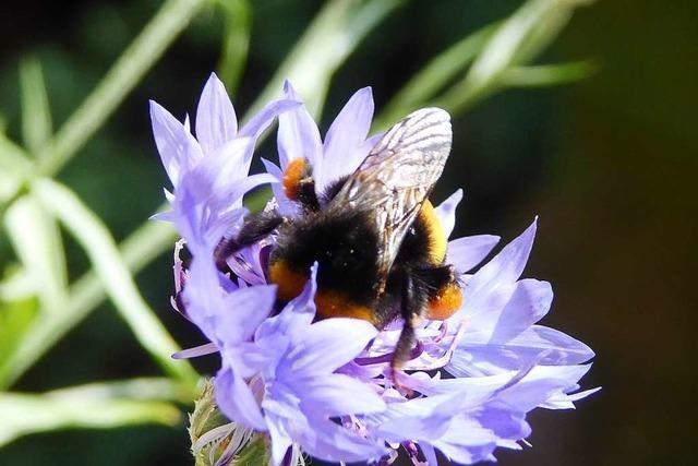 Einst blühten Millionen von Kornblumen im Wiesental