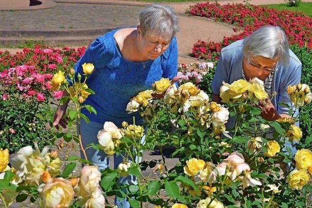 Wenn im Seepark die Rosen blühen