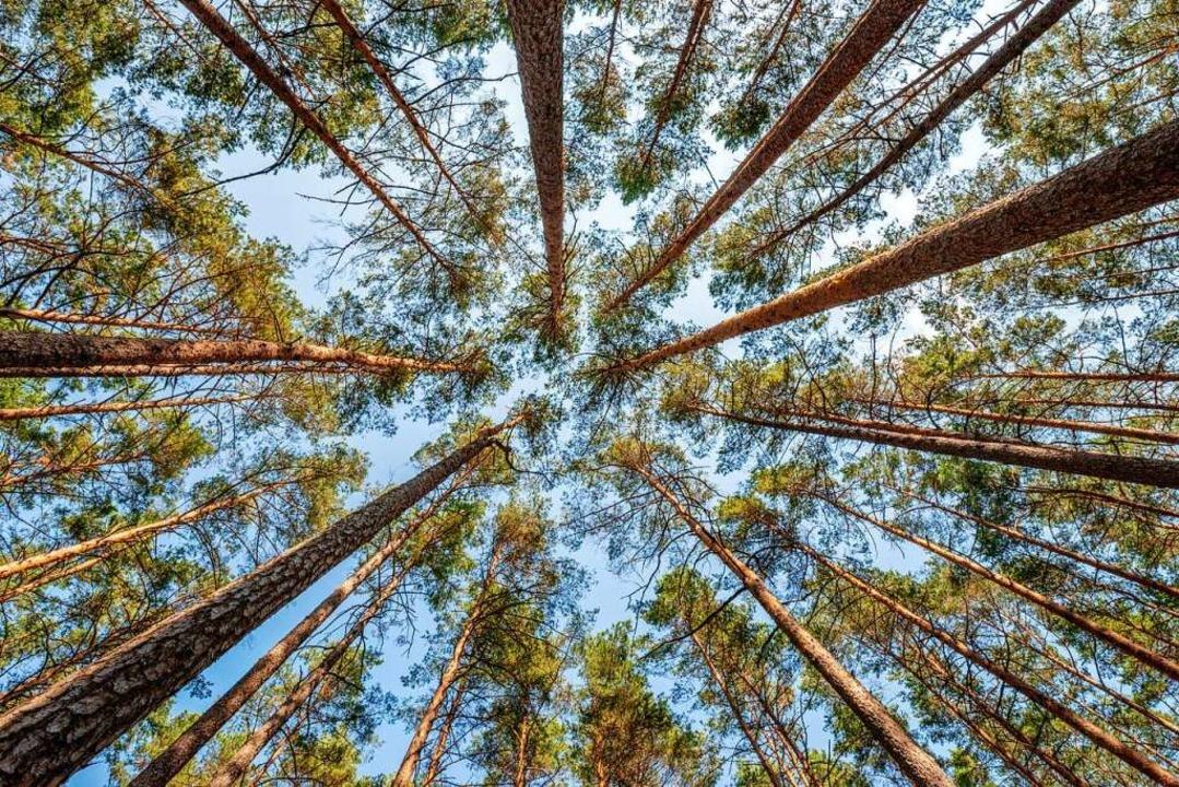 Lichte Kronen, wenig Vielfalt: So kann der Wald nicht überleben.  | Foto: Kamil_k2p  (stock.adobe.com)