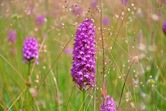 Orchideen: Lila leuchtende Spitzorchis
