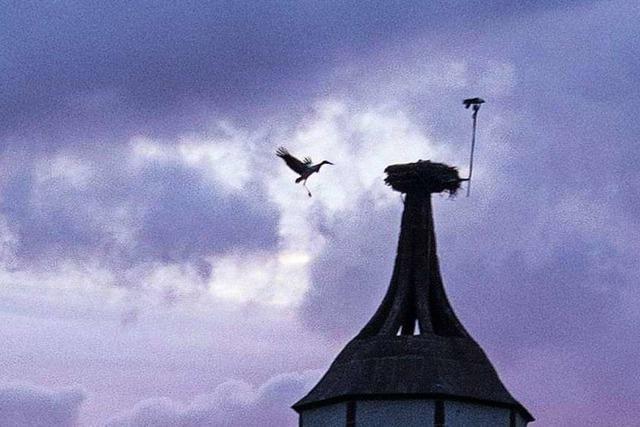 Storch im Landeanflug in Denzlingen