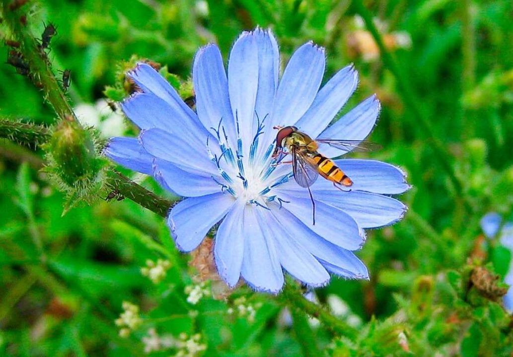 Blaues Wundermittel: die Wegwarte, von der Astrid Fiebich begeistert ist.  | Foto: Beate Schleep