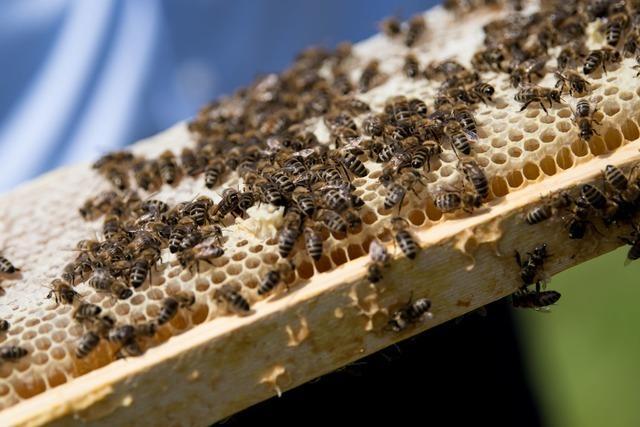 Bienenfäule bedroht Bienenvölker in Bollschweil