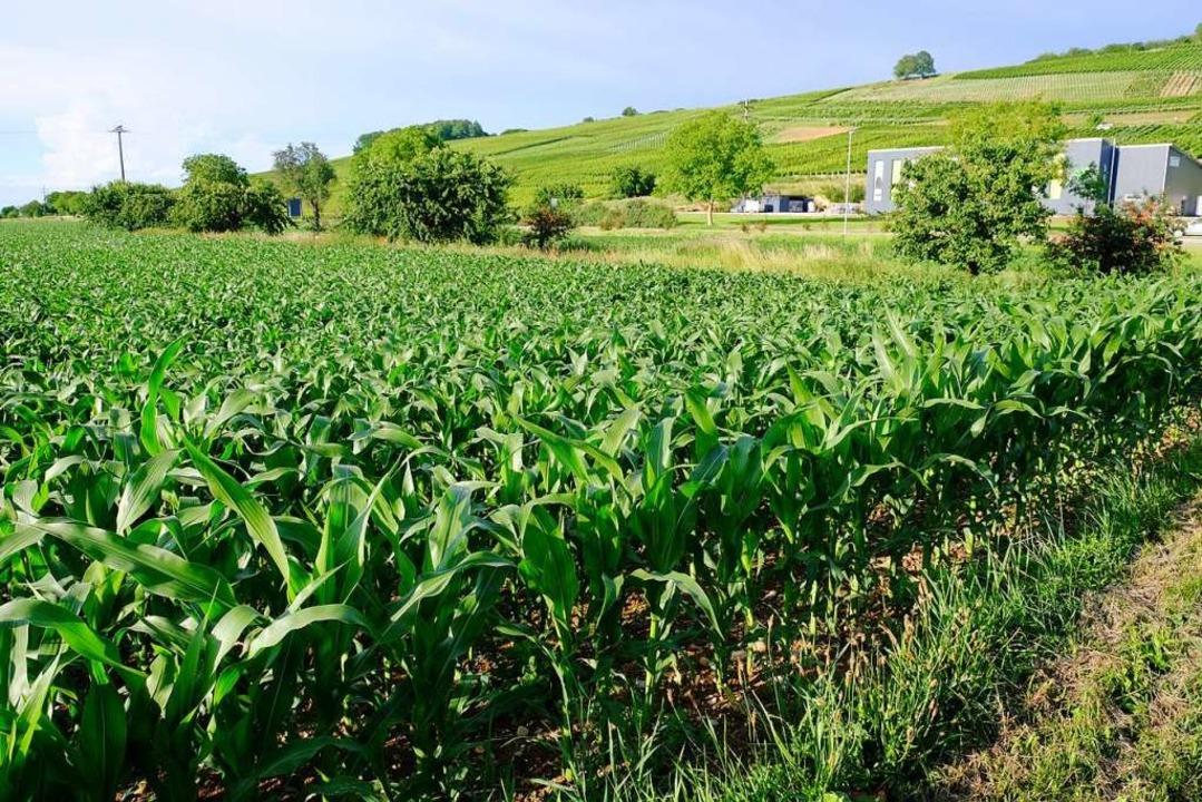 Noch steht hier der Mais, bald schon k...n sich hier Gewerbebetriebe ansiedeln.  | Foto: Martin Pfefferle