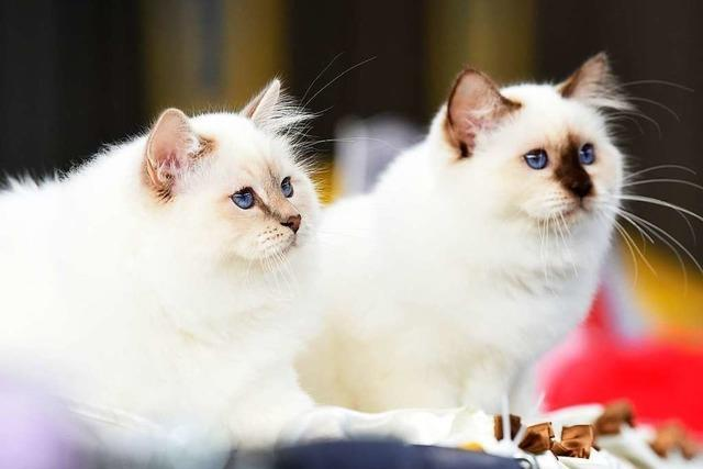Corona bei Tieren: Auch Katzen müssten bei einer Infektion in Quarantäne