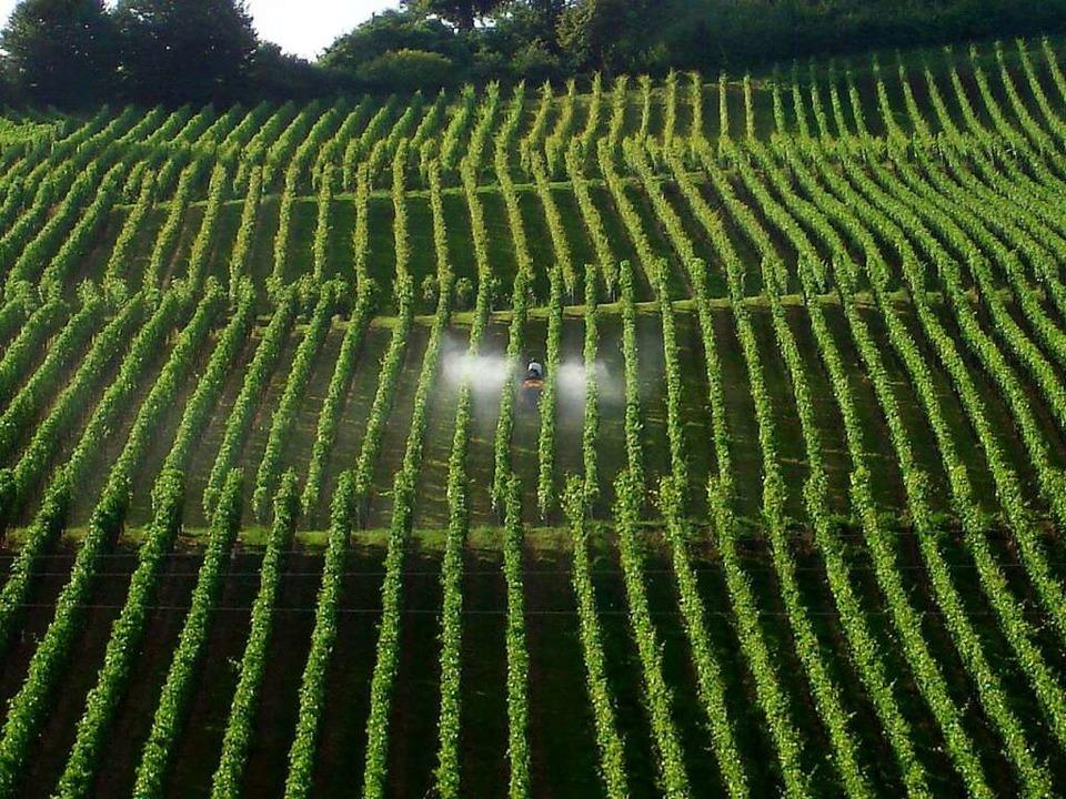 Spritzen, bevor der Pilz kommt: Winzer im Weinberg.  | Foto: Stücklin