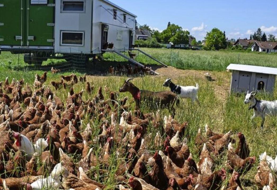 Ziegen und Hühner passen gut zusammen,... gefiederten Nachbarn vor Raubvögeln.   | Foto: Gabriele Hennicke