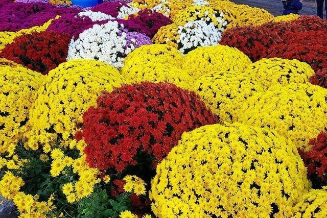 Eine normale Chrysanthema wird nicht möglich sein