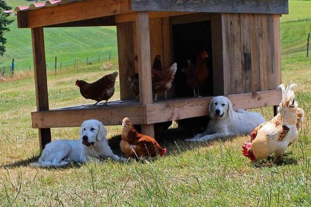 Auf einem Biohof in Freiamt bewachen zwei Hunde 300 Hühner