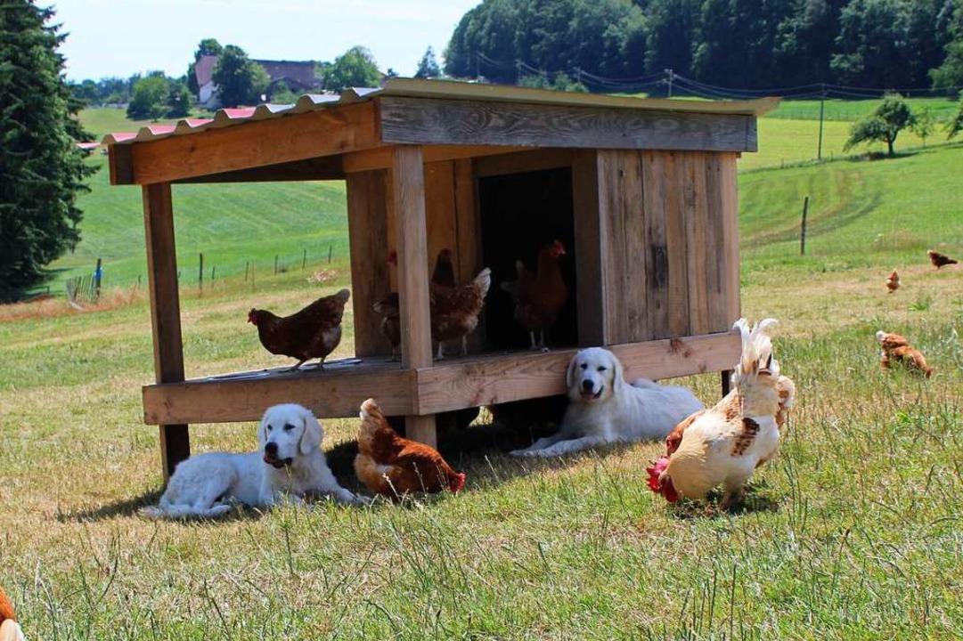 Als vierbeinige Leibwächter sind die b... Sicherheit von 300 Hühnern zuständig.  | Foto: Annika Sindlinger