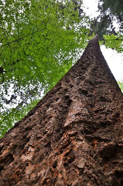 Die Douglasie ist der höchste Baum Deutschlands  | Foto: Anita Fertl