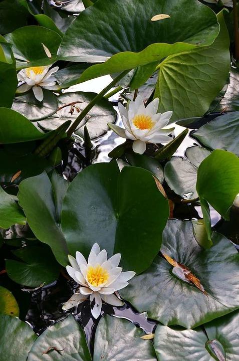 Prachtvoll: Seerosen im Wassergarten  | Foto: Ulrike Ott