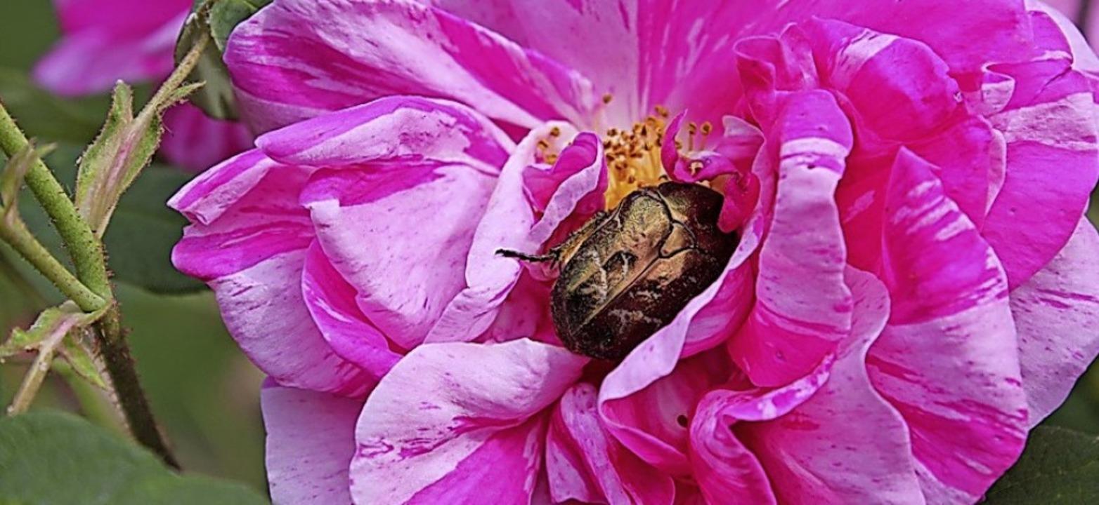 Apotheker-Rose mit Rosenkäfer in Bernau   | Foto: Christiana Keßler