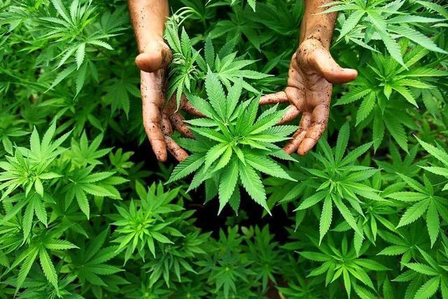 Polizei findet Cannabispflanzen bei Zwangsräumung