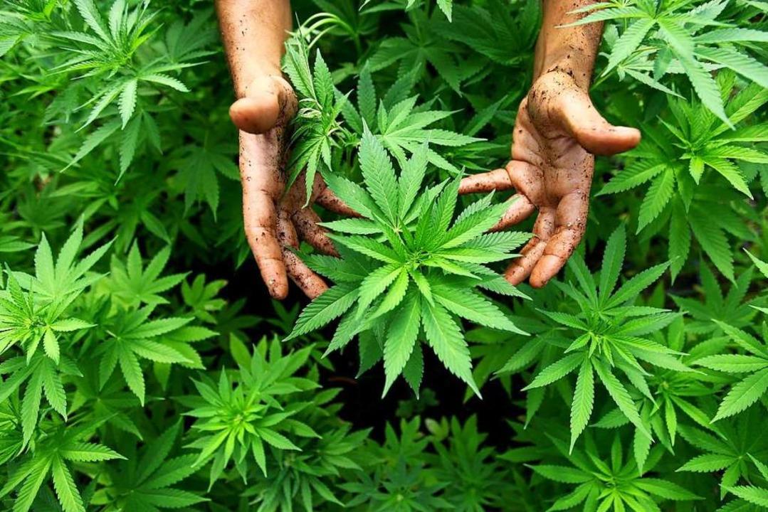 Cannabispflanzen beschäftigen die Polizei immer wieder.    Foto: ABIR SULTAN (dpa)